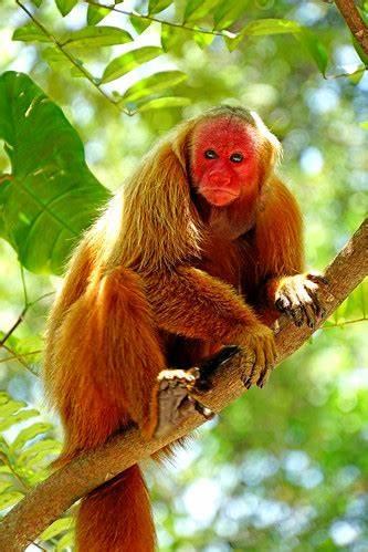 amazonia macaco